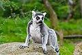Lemur (37122818926).jpg