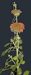 <i>Leonotis</i> genus of plants