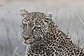 Leopard (27638630123).jpg