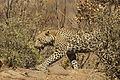 Leopard Stalking-001.jpg