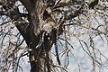 Leopard resting in tree (28254189275).jpg