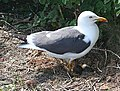 Lesser Black-backed Gull (Larus fuscus) - geograph.org.uk - 1898440.jpg