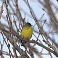 Lesser Goldfinch (8463660190).jpg