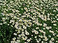 Leucanthemum vulgare 001.JPG