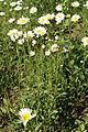 Leucanthemum vulgare in Minsk 601.jpg