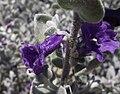 Leucophyllumpruinosum-sierrabouquet.jpg