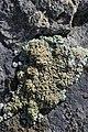 Lichen (20375975898).jpg