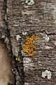 Lichen (42904149802).jpg
