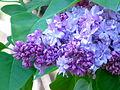Lilac spring 2013.JPG