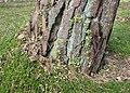 Linnaea borealis kz03.jpg