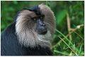Lion-tailed macaque (Macaca silenus) by Dharani Prakash.jpg