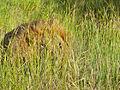 Lion (Panthera leo) hidden in the grass (13985147064).jpg