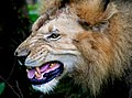 Lion 05 (2646554060).jpg