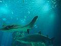 Lisbon Oceanarium (14403485005).jpg