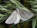 Lithostege farinata - Толстобёдрая пяденица белая (40247145204).jpg