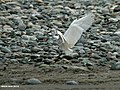 Little Egret (Egretta garzetta) (18897334118).jpg