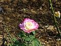Littleflower3.jpg