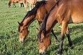 Livestock05.tif (37988388745).jpg