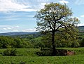 Lone Tree - geograph.org.uk - 1280486.jpg