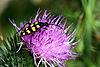 Longhorn beetle (Leptura quadrifasciata) (Strangalia quadrifasciata) female.jpg