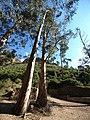 Los eucaliptus de la Font del Marche - panoramio.jpg