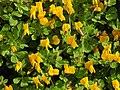 Lotus biflorus RF.jpg
