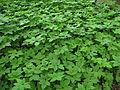 Loužek (přírodní rezervace), rostlinstvo (002).jpg