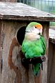Lovebird -Butterfly and Wildlife Park -Lincolnshire-8a.jpg
