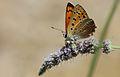 Lycaena asabinus (Male) - Anadolu Ateşgüzeli.jpg