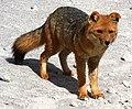 Lycalopex culpaeus Bolivia.jpg
