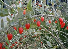 Branca de Lycium barbarum amb fruits