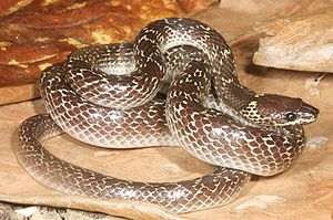 Lycodon capucinus - Image: Lycodon capucinus