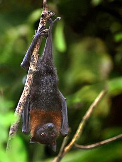 Lyles flying fox species of mammal
