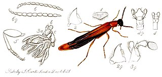 Lymexylidae Family of beetles