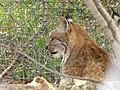 Lynx (9112354276).jpg