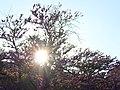 Lyon Trees at sunset 20110418.jpg
