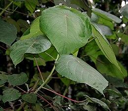 Macaranga peltata W IMG 2386