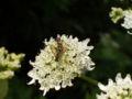 Macrophya montana.JPG
