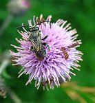 Macropis europaea2.jpg