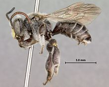 Macropis sp 01.jpg