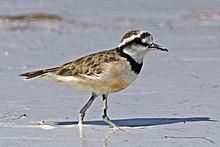 Madagascar plover (Charadrius thoracicus).jpg