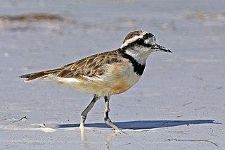 Madagascan plover Species of bird