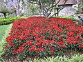Madeira em Abril de 2011 IMG 1731 (5663756084).jpg