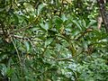 Madhuca ¿ neriifolia ? (16027464199).jpg