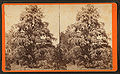 Magnolia-on-the-Ashley, Charleston, S.C, by Havens, O. Pierre, 1838-1912 2.jpg