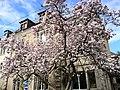 Magnolia - panoramio (2).jpg