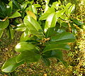 Magnolia grandiflora (3).JPG