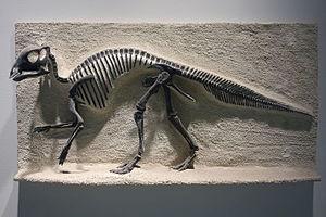 Maiasaura - Cast of a juvenile skeleton