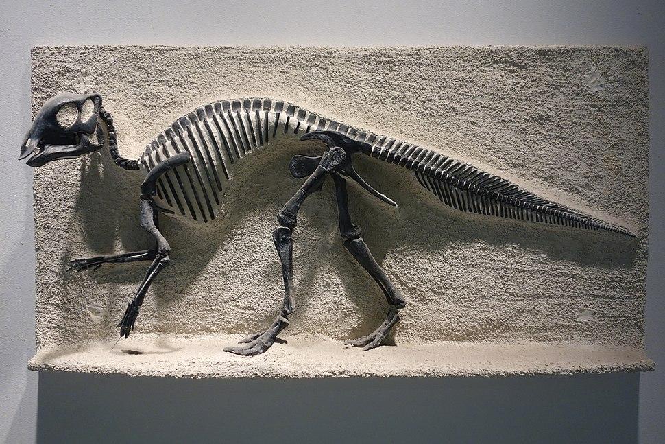 Maiasaura peeblesorum cast - University of California Museum of Paleontology - Berkeley, CA - DSC04688