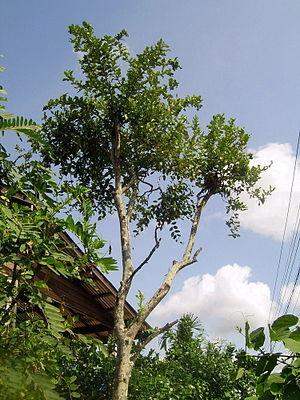 Kaffir lime - Large tree